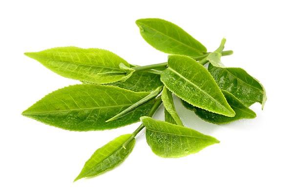 Matcha được sản xuất từ giống trà Tencha đặc trưng của Nhật Bản