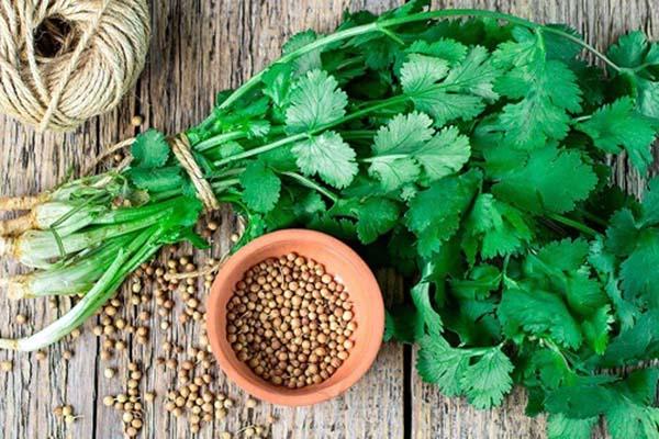 cilantro hay bị nhầm lẫn với coriander
