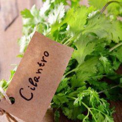 cilantro là gì
